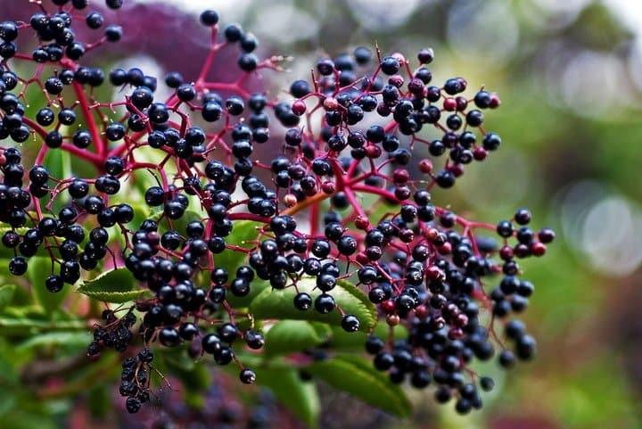 میوه گیاه آقطی
