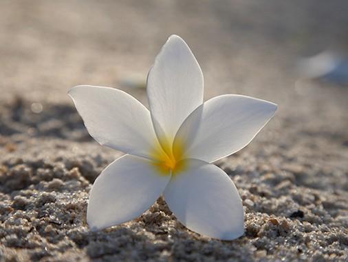 رایحه شادی آفرین گل یاس