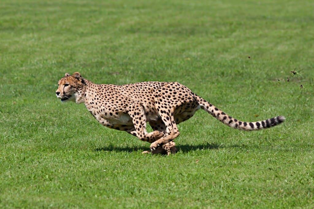 سرعت جانوران میانه اندام
