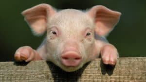 پیوند زدن اعضای حیاتی خوک به انسان