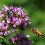 کشف پیوند ژنتیکی زنبورهای عسل