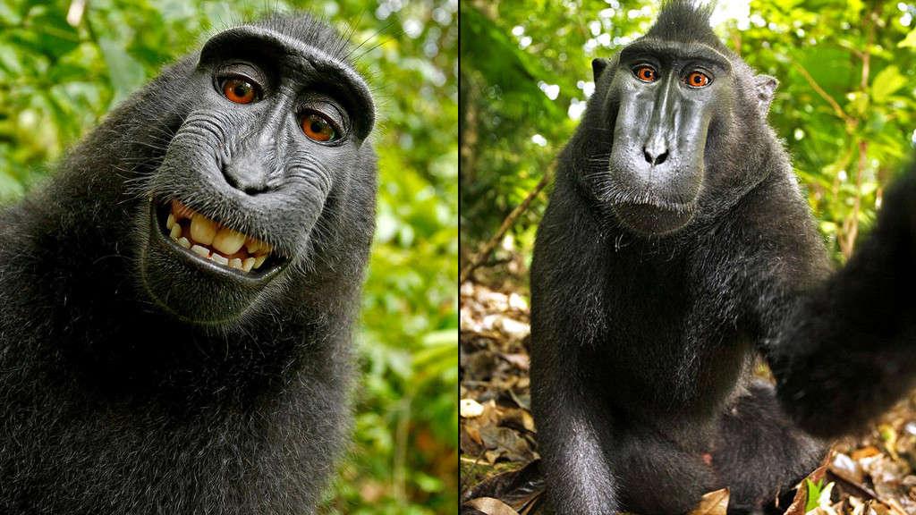 میمونی که با عکس سلفی خود جنجال به پا کرد: تقاضای کپی رایت برای ناروتوی میمون