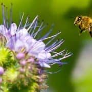 زنبورها و گرده افشانی گل ها