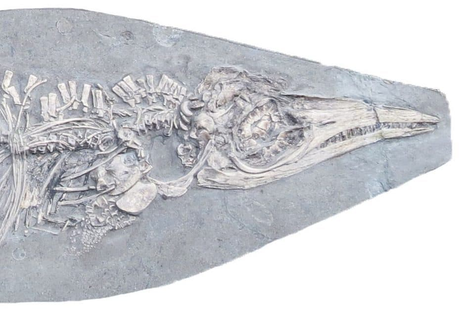 کشف فسیل یک ایکتیوسور کوچک