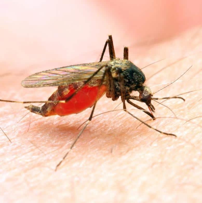 بیماری مالاریا: معرفی عامل بیماری، ناقل، راههای انتقال و پیشگیری و درمان