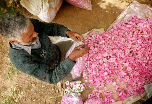 گل محمدی کاشان و رایحه دلپذیر آن در یک عطر معروف فرانسوی