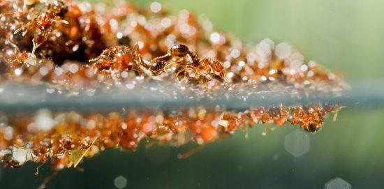 با سه قانون مهم مورچههای آتشین هنگام ساخت قایق و برج مورچهای آشنا شوید