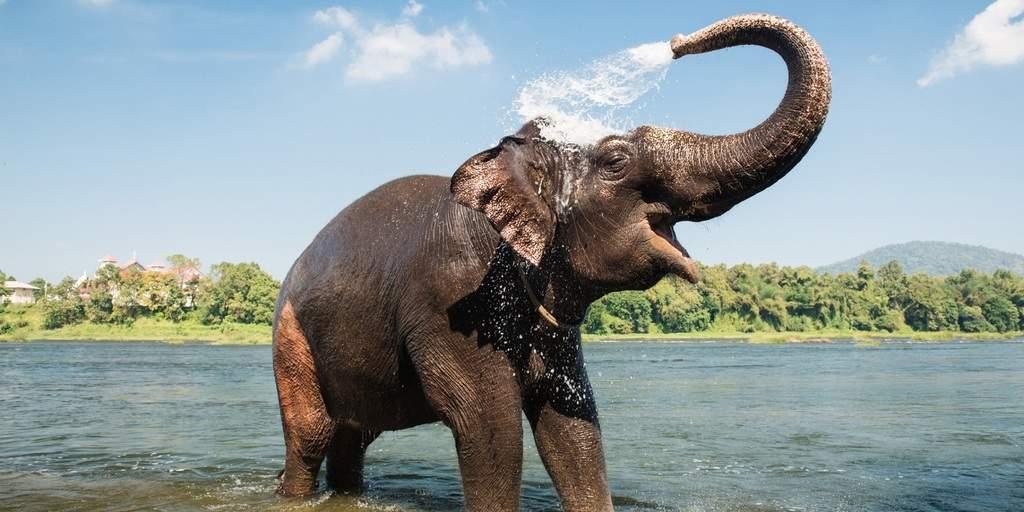 زبان فیل