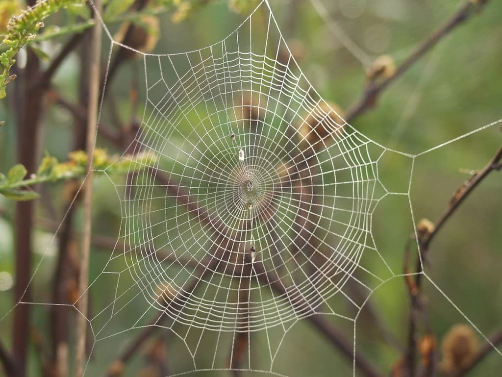 تارهای عنکبوت طلایی بافنده