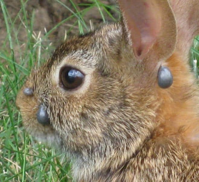 تب خرگوشی از بیماریهای مربوط به کنهها