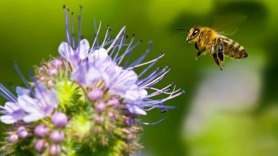 زنبورهای عسل چگونه در گرده افشانی گل ها نقش آفرینی میکنند؟