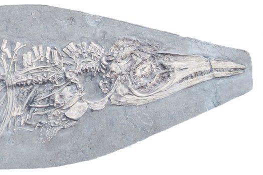 دایناسور کوچولوی شکمو: کشف فسیل یک ایکتیوسور کوچک برای نخستین بار