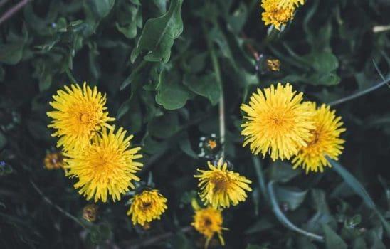 خواص گل قاصدک برای سلامتی از کاهش قند خون تا درمان سرطان