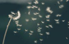 دانشمندان الگوی عجیب پرواز دانه گل قاصدک را کشف کردند