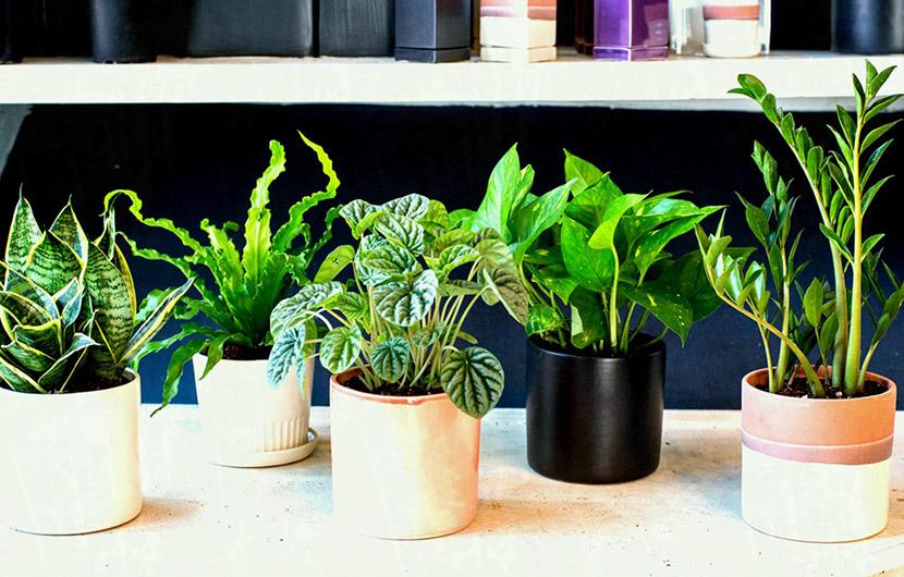 این گیاهان بادوام در نور کم هم به خوبی رشد میکنند