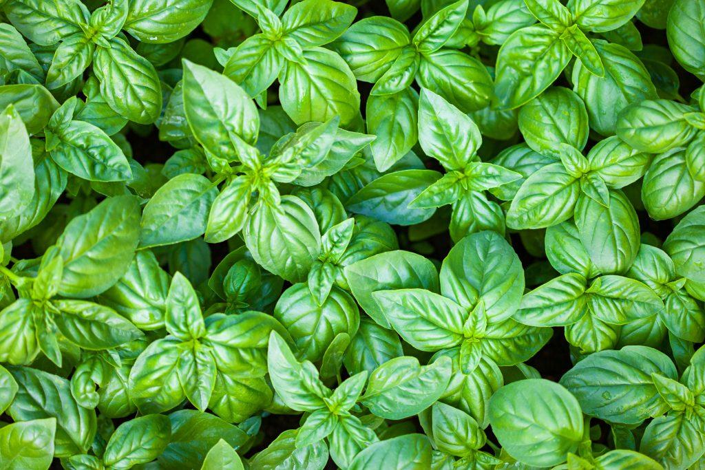 گیاهان کاهش دهنده فشار خون