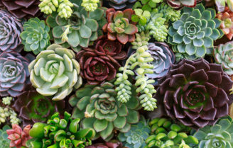 حقایق جالب و شگفت انگیز درباره ساکولنتها یا گیاهان آبدار