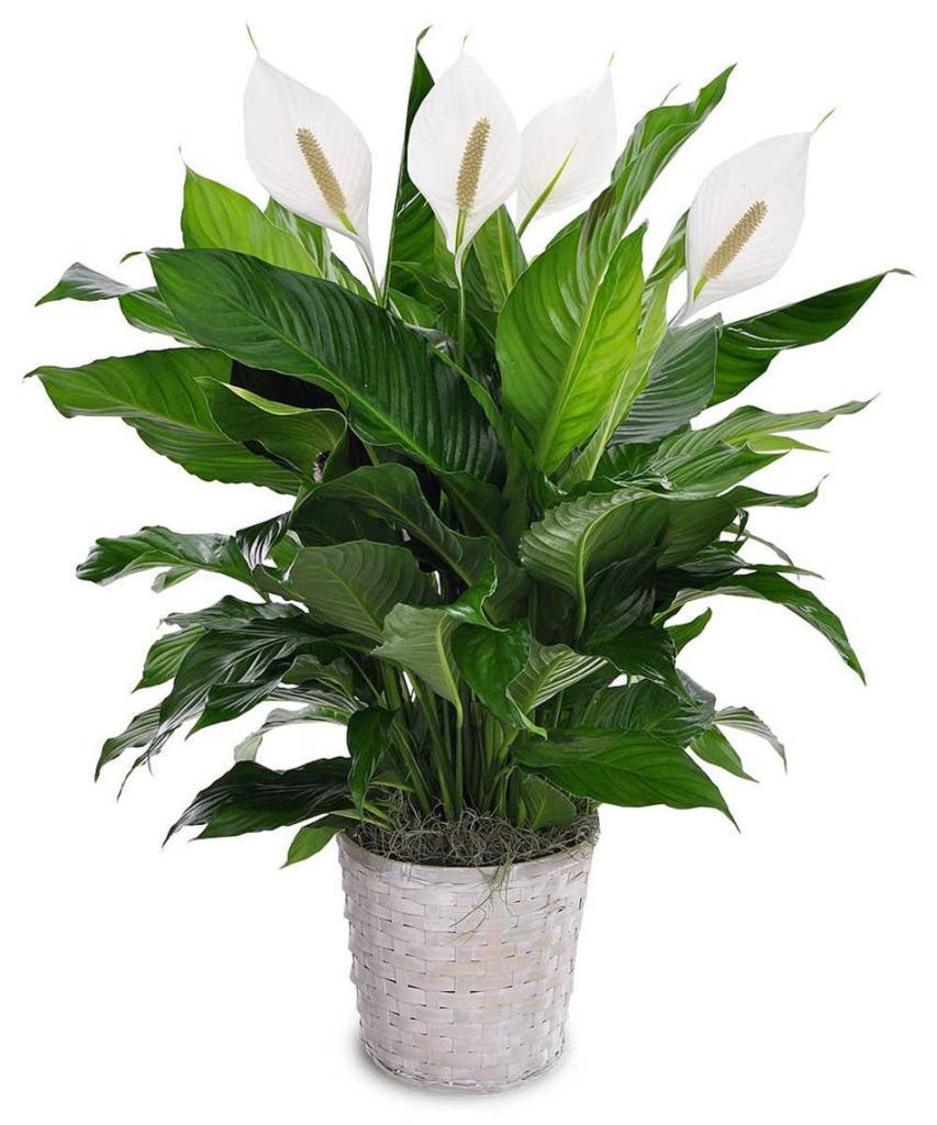 گیاهان تصفیه کننده هوا