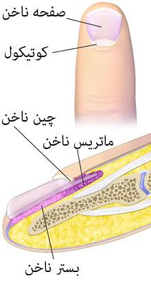 کوتیکول خشک ناخنها را به این روش درمان و برطرف کنید