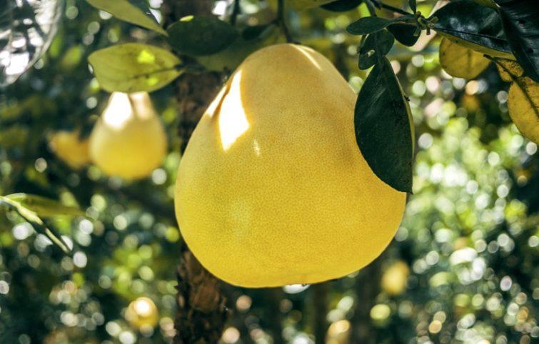 میوه پوملو (گریپ فروت چینی) و معرفی فواید شگفت انگیز مصرف آن