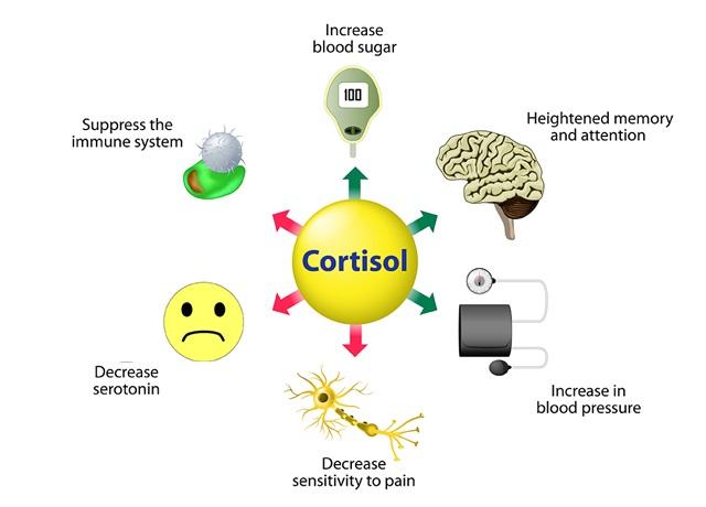 کورتیزول در بدن