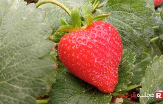 خواص توت فرنگی این دلربای اردیبهشتی؛ میوه ای کم قند و خوش طعم
